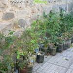 Залесиха 60 дка с 25 хил. фиданки