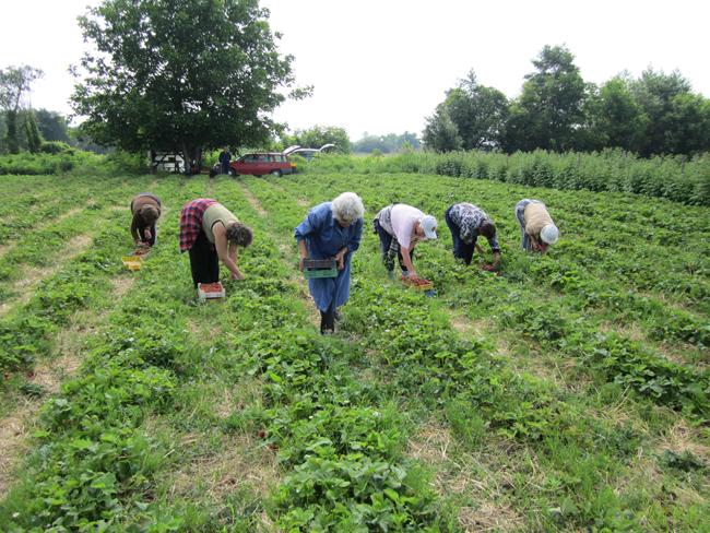 Кандидати за бране на ягоди в Испания се търсят от Агенцията по заетостта. Обявени са общо 450 свободни работни места. Крайният срок за кандидатстване е 20 януари. Интервюта с кандидатите […]