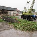 Бурята изкорени дърво в Долна баня