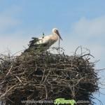 Щъркеловите гнезда изчезнаха