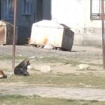 Бездомните кучета се упояват и кастрират