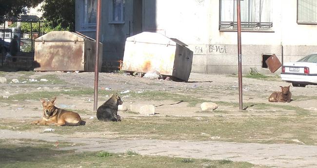 """Месеци наред вече бездомни глутници кучета безпокоят живеещите в блокове 1, 2, 3, 4 на кв. """"Възраждане"""" и в околните къщи. Снимката ни бе изпратена от читател, който пита никакви […]"""