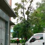 Глобяват роми за обезобразяване на липови дървета