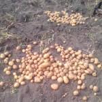 Най-тежката година за производство на картофи от век и половина насам