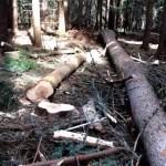 Незаконна сеч съсипва рилската гора