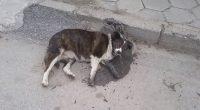Вечерта на 12 март столичанка сигнализирала в полицията, че в двора на къщата си в Широки дол е намерила труповете на три кучета, нейна собственост. По телата на животните криминалистите […]
