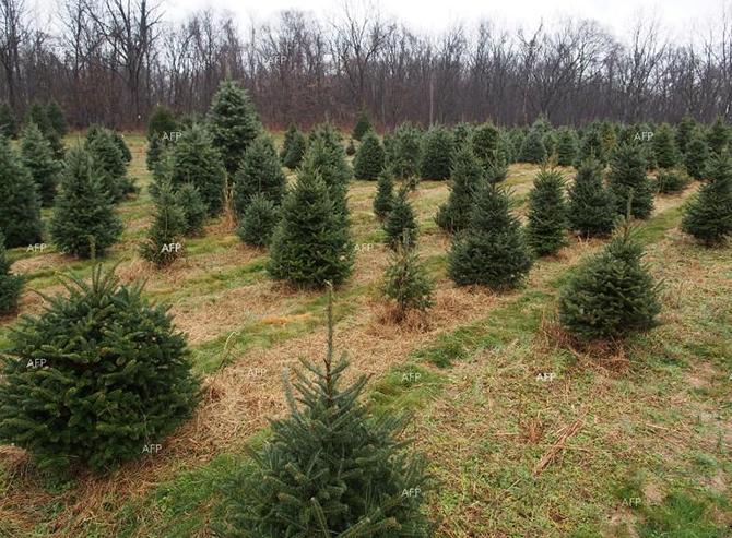 Над 13 хил. коледни дръвчета има готовност да предложи на пазара за предстоящите празници Югозападното държавно предприятие. Над 1/3 от тях са живи елхи в контейнер. Най-много отрязани дръвчета могат […]