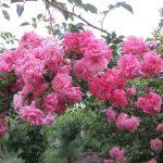 Присаждам и подрязвам дървета; предлагам рози и овошки от Самоков