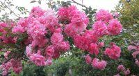 Извършвам присаждане/ашладисване/ и подрязване на овощни дървета, плодни храсти и лози. Предлагам разнообразни декоративни дървета, храсти, рози и овошки – местен произход от Самоков. За контакти: 0885899454