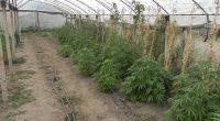 Общо 160 саксии с торопочвена смес, система за капково напояване, торове и препарати за отглеждане на марихуана, везна и множество семена на канабис, както и 24 кварцови лампи, нагревателни и […]