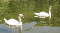 """Споделям долното като кръстник на новия парк с името """"Крайискърец"""" /моля да извините самохвалството ми – не съм такъв, просто – факт!/.Става въпрос за съдбата на лебедите в езерото на […]"""