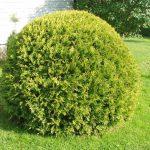 Предлагам декоративни растения за вашия двор, градина и вила