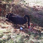 """Черните лебеди в езерото на парк """"Крайискърец"""" ще стават родители"""