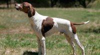 Служители на РУП-Самоков задържаха 69-годишен столичанин, прострелял домашно куче. Около 12.30 ч. на 24 януари мъж съобщил в полицията, че докато разхождал кучето си от порода английски пойнтер във вилна […]