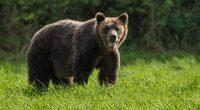 Около 16.30 часа вчера в РУ- Самоков се получил сигнал за забелязан труп на мечка в землището на с. Радуил. Местопроизшествието е посетено от дежурна оперативна група. При огледа е […]
