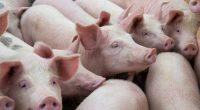 """В Държавното ловно стопанство """"Искър"""" край Ново село е открито диво прасе с африканска чума. Това е и първи случай на подобно заболяване в Югозападна България. Досега чумата засягаше главно […]"""