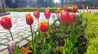 Истинска цветна феерия представлява през последните дни централната част на града ни. Служители към Общината засадиха общо 5000 лалета в района на Ларгото, край паметника на опълченците и на терасите […]