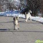 Опасни кучета без намордници – докога?!